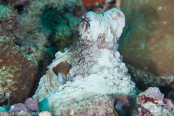 BD-130714-Maldives-0658-Octopus-cyanea.-Gray.-1849-[Big-blue-octopus].jpg